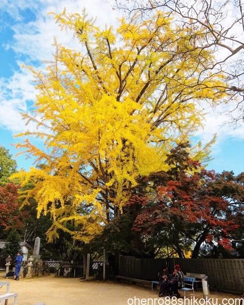大窪寺の大銀杏の紅葉
