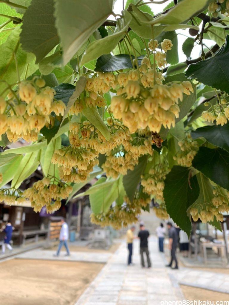 第八十五番札所 八栗寺 菩提樹の花