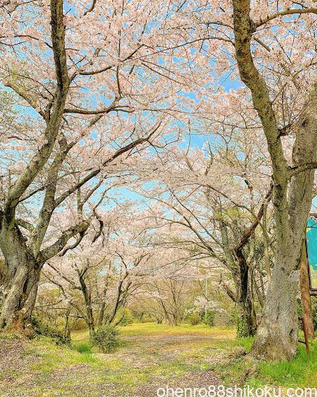 白峯寺の桜