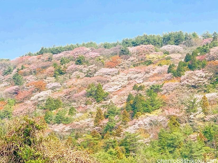 根香寺から白峯寺の途中に出会った桜風景