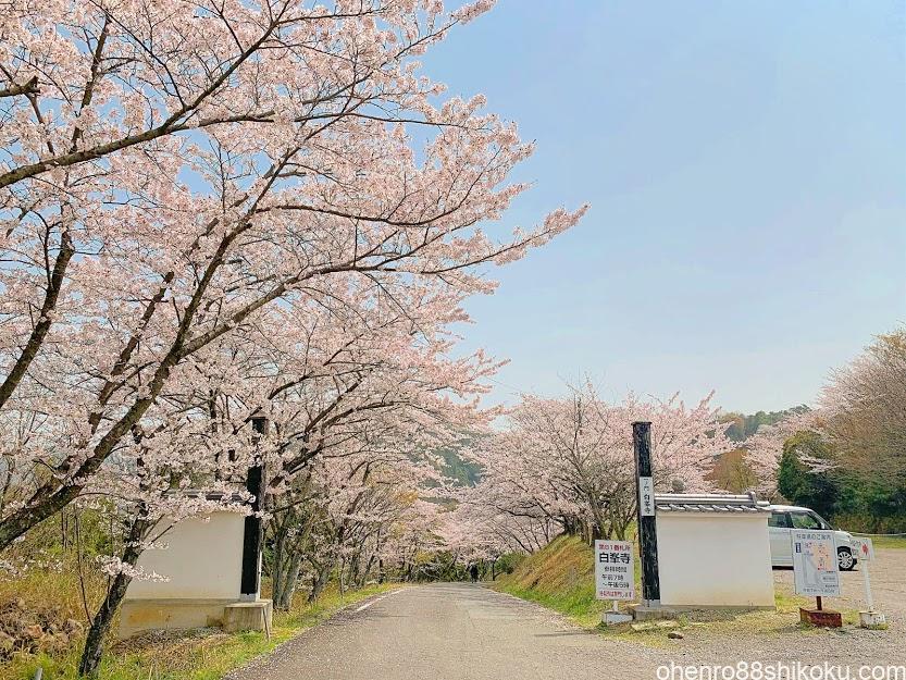白峯寺入口の桜並木