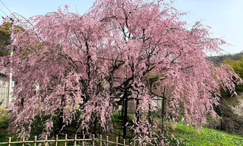 鬼無のしだれ桜