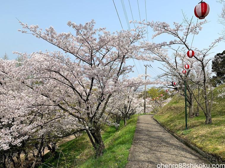 桃陵公園の桜
