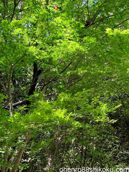 藤尾神社の新緑の楓