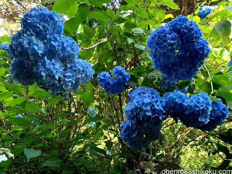 粟井神社 紫陽花