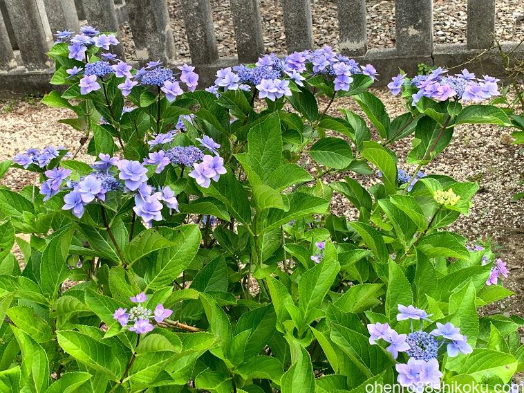 白峯寺の紫陽花