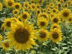 【香南町ひまわりプロジェクト】ひまわり畑が見頃です・2021年6月