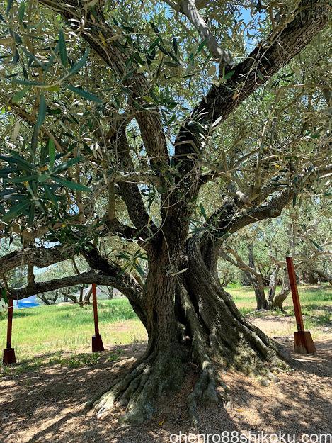 小豆島オリーブ原木
