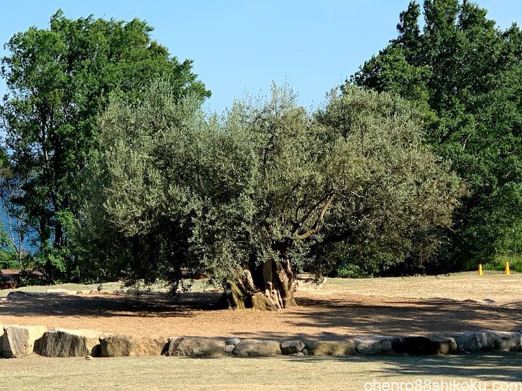 樹齢千年オリーブ