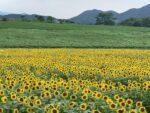 まんのう町のひまわり畑(中山地区・帆山地区)が見頃です・2021年7月